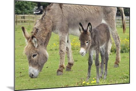 Donkey Adult and 5 Days Old Baby--Mounted Photographic Print
