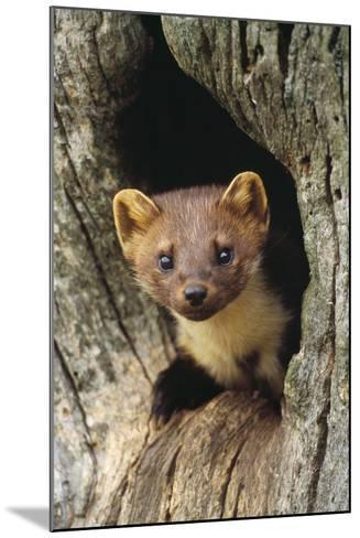 Pine Marten in Hole in Tree--Mounted Photographic Print