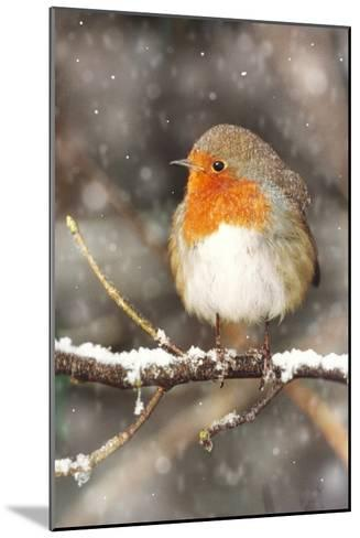 Robin on Snow Covered Branch with Falling Snow--Mounted Photographic Print