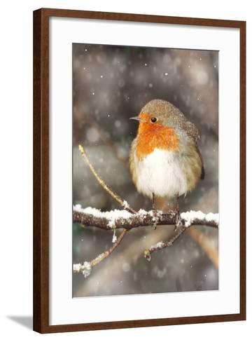 Robin on Snow Covered Branch with Falling Snow--Framed Art Print