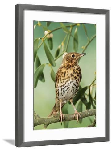 Song Thrush in Mistletoe--Framed Art Print