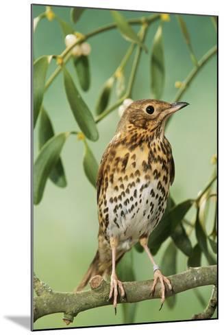 Song Thrush in Mistletoe--Mounted Photographic Print