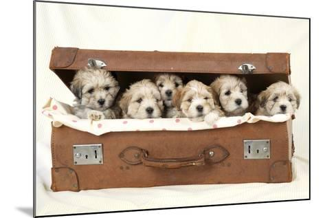 7 Weeks Old Lhasa Apso Cross Shih Tzu Puppies--Mounted Photographic Print
