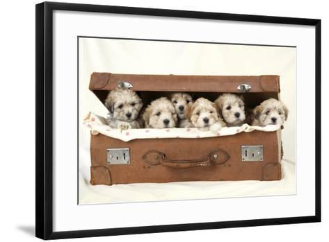 7 Weeks Old Lhasa Apso Cross Shih Tzu Puppies--Framed Art Print