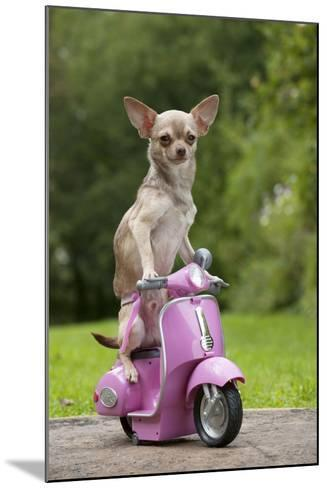 Chihuahua on Scooter--Mounted Photographic Print