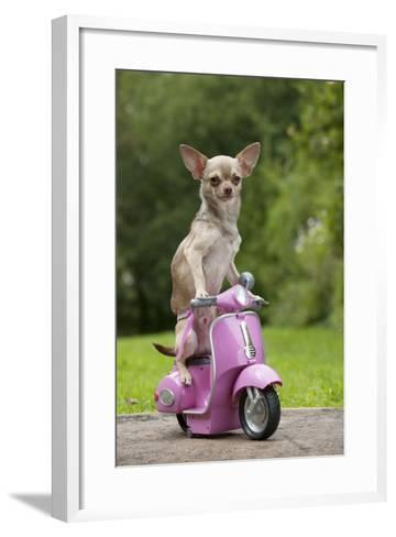 Chihuahua on Scooter--Framed Art Print