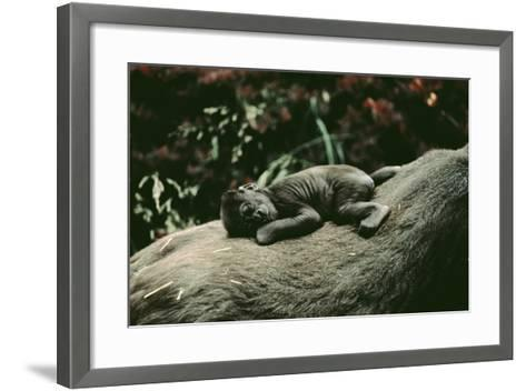 Lowland Gorilla Parent with Baby on Back--Framed Art Print