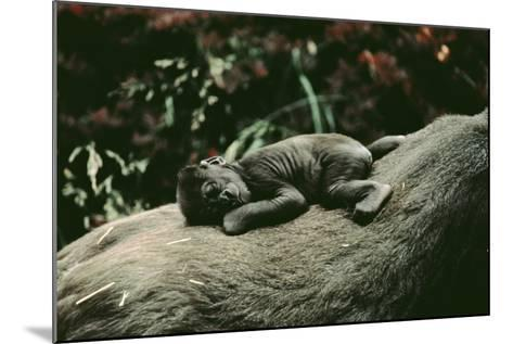 Lowland Gorilla Parent with Baby on Back--Mounted Photographic Print
