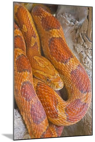 Corn Snake--Mounted Photographic Print