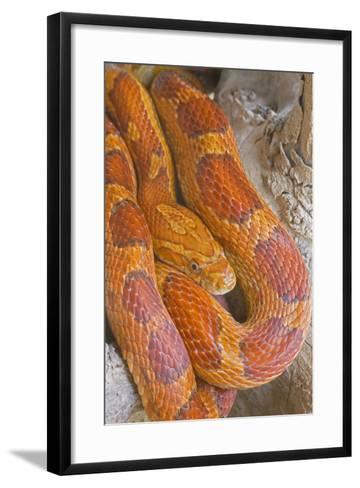 Corn Snake--Framed Art Print