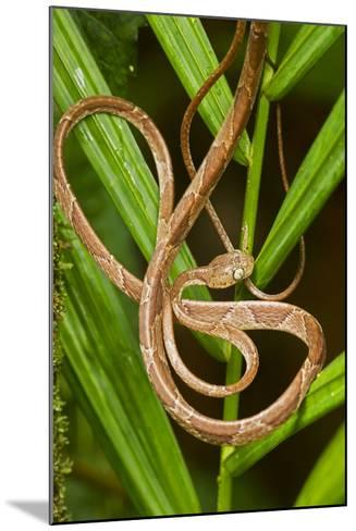 Blunthead Tree Snake--Mounted Photographic Print