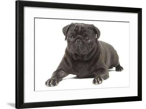 Pug in Studio--Framed Art Print