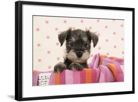 Miniature Schnauzer Puppy (6 Weeks Old)--Framed Art Print