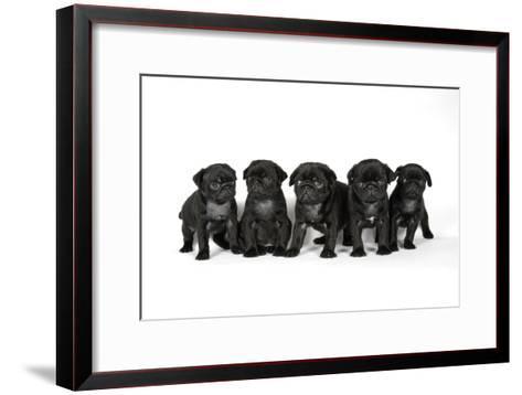 Five Black Pug Puppies (6 Weeks Old)--Framed Art Print