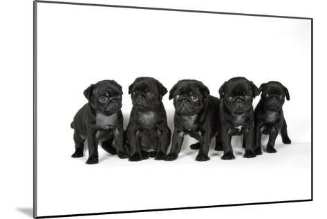 Five Black Pug Puppies (6 Weeks Old)--Mounted Photographic Print