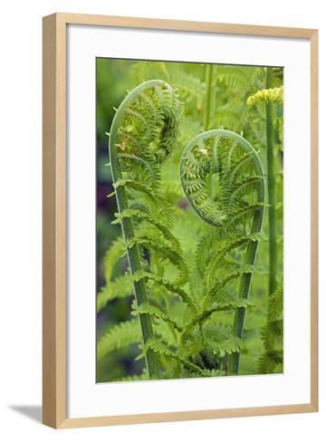 Ostrich Fern or Shuttlecock Fern Fiddlehead Edible--Framed Art Print
