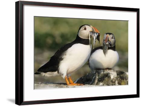 Puffin Two with Sandeels in Beak--Framed Art Print