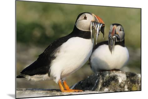 Puffin Two with Sandeels in Beak--Mounted Photographic Print