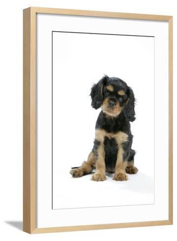 Cavalier King Charles Spaniel Puppy 6-7 Weeks Old--Framed Art Print