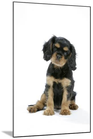 Cavalier King Charles Spaniel Puppy 6-7 Weeks Old--Mounted Photographic Print
