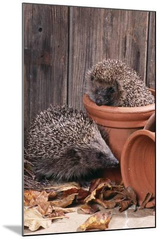 Hedgehogs in and Near Flowerpots--Mounted Photographic Print