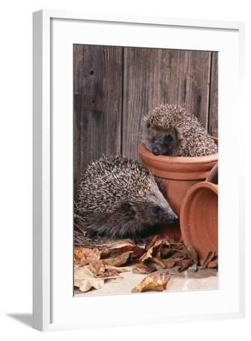 Hedgehogs in and Near Flowerpots--Framed Art Print