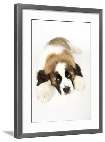 St Bernard Dog 14 Week Old Puppy--Framed Art Print