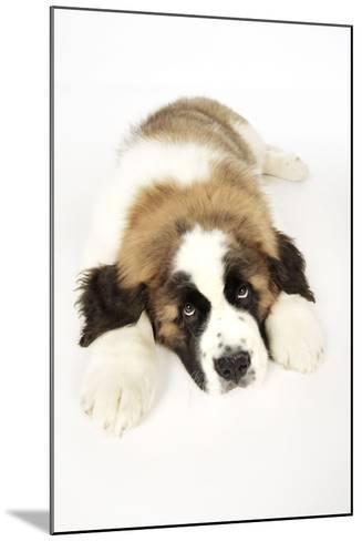 St Bernard Dog 14 Week Old Puppy--Mounted Photographic Print