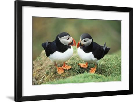 Atlantic Puffins Pair--Framed Art Print