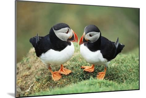 Atlantic Puffins Pair--Mounted Photographic Print