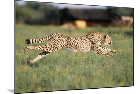 Cheetah Running--Mounted Photographic Print