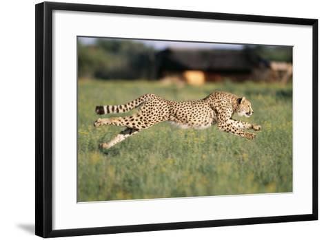 Cheetah Running--Framed Art Print