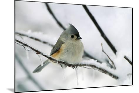 Tufted Titmouse on Branch in Snow--Mounted Photographic Print
