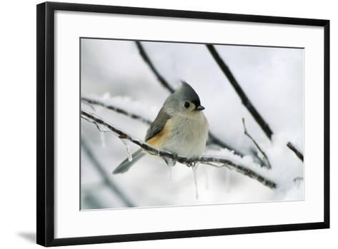 Tufted Titmouse on Branch in Snow--Framed Art Print