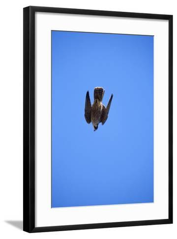 Peregrine Falcon Swooping--Framed Art Print
