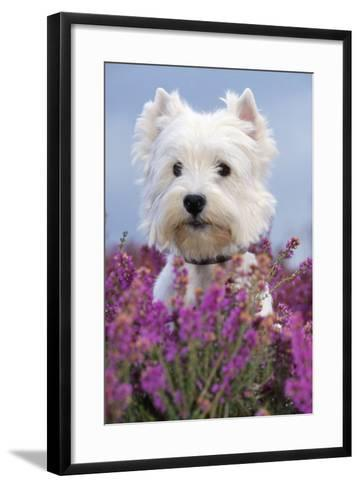 West Highland White Terrier Dog in Heather Flowers--Framed Art Print