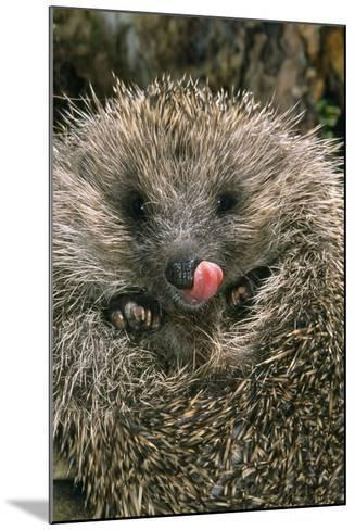 Hedgehog Curled Up in Ball--Mounted Photographic Print