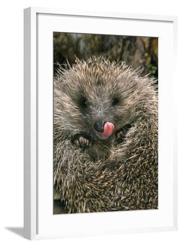 Hedgehog Curled Up in Ball--Framed Art Print