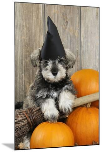 Schnauzer Puppy Looking over Broom Wearing Witches Hat--Mounted Photographic Print