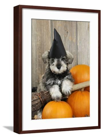 Schnauzer Puppy Looking over Broom Wearing Witches Hat--Framed Art Print