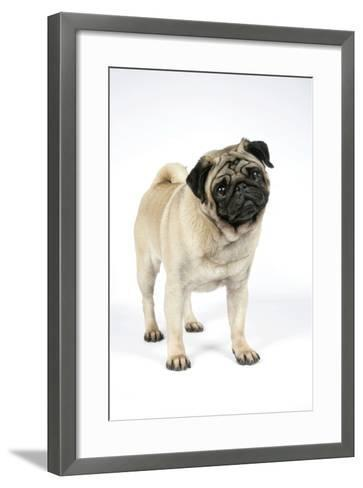 Pug (Fawn) with its Head Cocked--Framed Art Print