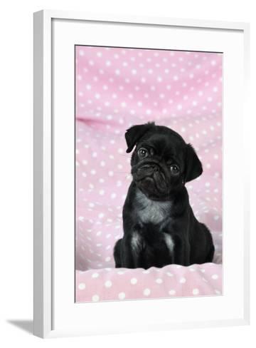 Black Pug Puppy (8 Wks Old)--Framed Art Print