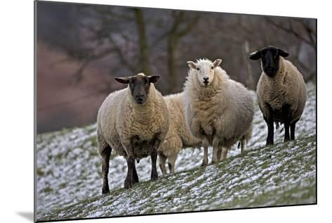 Sheep Mixture of Suffolk and Welsh Mountain Breeds--Mounted Photographic Print