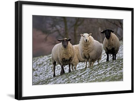 Sheep Mixture of Suffolk and Welsh Mountain Breeds--Framed Art Print