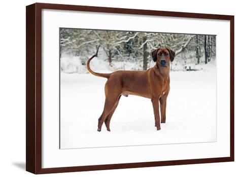 Rhodesian Ridgeback in Snow--Framed Art Print