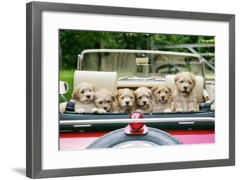 7 Week Old Lhasa Apso Cross Shih Tzu Puppies in Car--Framed Art Print