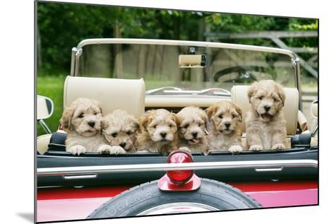 7 Week Old Lhasa Apso Cross Shih Tzu Puppies in Car--Mounted Photographic Print