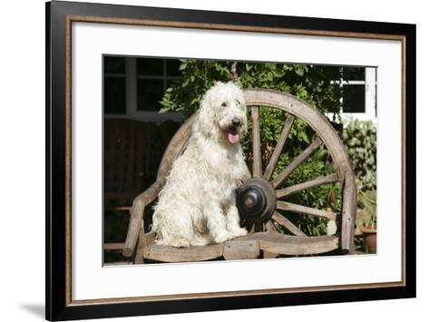 Cream Labradoodle Sitting on Wooden Chair--Framed Art Print