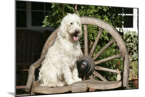 Cream Labradoodle Sitting on Wooden Chair--Mounted Photographic Print