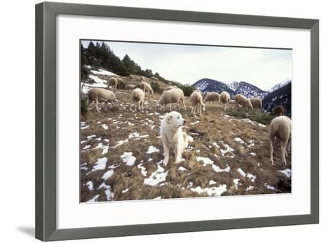 Pyrenean Mountain Dog Protecting Sheep--Framed Art Print